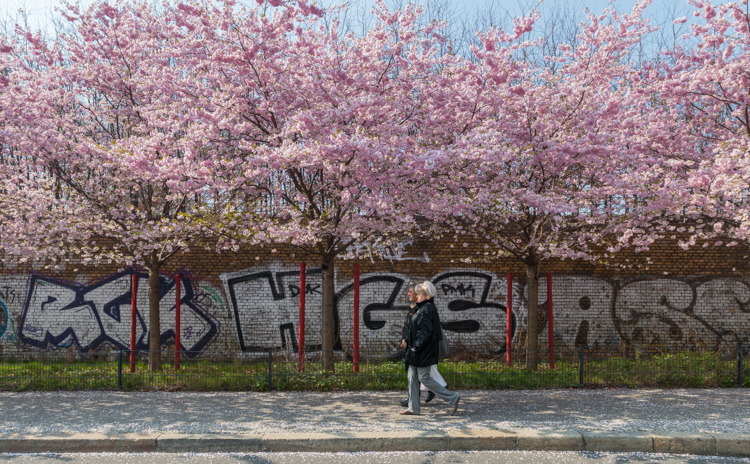 Sakura in Berlijn – Bloesem langs de Berlijnse Muur